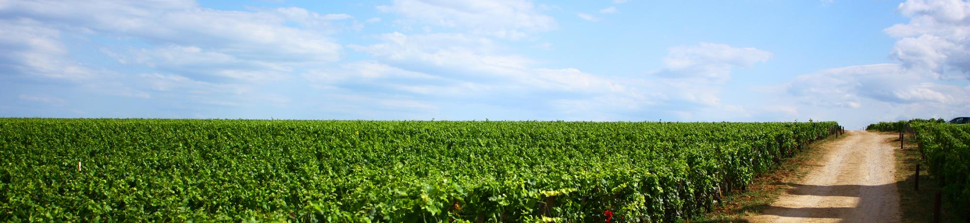 Header Image, Study Abroad in Viticulture and Enology