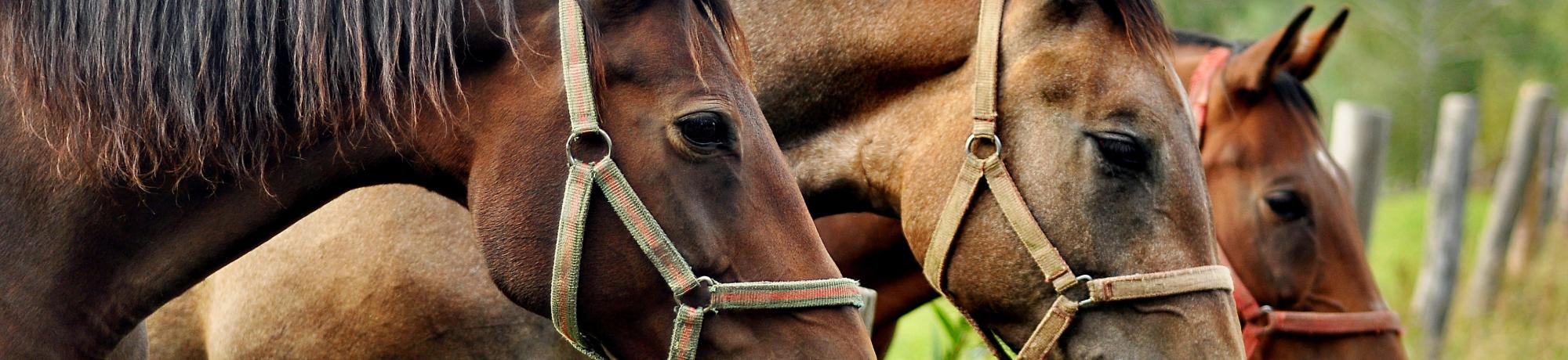 UC Davis Study Abroad, Seminars Abroad Poland, Equine Welfare and Management Program, Header Image